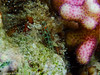 Trimma cf. flavicaudatum, Goby (Severin Korfhage) Tags: zwerggrundel trimmacfflavicaudatum dahab red sea egypt coralreef corals goby fish ocean wildlife nature