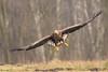 White-tailed eagle (Haliaeetus albicilla) bielik (tomaszberlin) Tags: whitetailed eagle haliaeetus albicilla bielik poland nature wildlife bird birdofprey birdwachers animal tree sky nikon d500