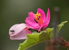 Ants on Antigonon vine_99A5975 (ozwildbird) Tags: ant pollinator insect antigonon