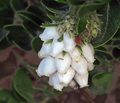 J20171219-0054—Arctostaphylos viridissima 'White Cloud'—RPBG