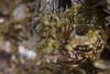 fringehead1Feb24-18 (divindk) Tags: 4hoyadiopter anacapa anacapaisland californiaunderwater channelislands channelislandsnationalpark neoclinusstephensae sanmiguelisland santabarbara santacruzisland santarosaisland underwater ventura color diverdoug fish fringehead marine ocean reef sea underwaterphotography yellowfinfringhead
