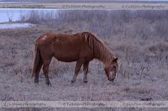 Baldy (ficktionphotography) Tags: assateagueisland wildpony wildhorse horse pony equine nature wildlife