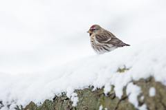 Common Redpoll, Vanderbilt Residence, Speedway, IN.  January 15th, 2018. (Ryan J Sanderson) Tags: ryan sanderson canon 1dx mark ii 5dsr 600 f4 is l 14x tc iii marion county indiana hancock commonredpoll vanderbiltresidence speedway injanuary15th 2018
