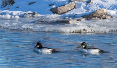 DOL-A-5634 (~ Daniel LaFrance) Tags: commongoldeneye embankment ontario princeedwardcounty wellingtonchannel wildlife winter