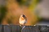 Blue Bird (gotta_ketcham_all) Tags: birdwatching avian adorable species earth wildlife wild nature bird bluebird