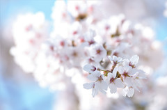 Cloud (rvtn) Tags: sakura cherryblossom cherry white blue bokeh flowers flower blossom spring nature