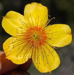 Lindley's Blazing Star (philipbouchard) Tags: blazingstar lindleysblazingstar mentzelialindleyi loasaceae eveningstar flower wildflower yellow california santaclaracounty mthamilton sanantoniovalley ca130 roadside