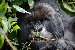 The Gorilla Grill (Alex E. Proimos) Tags: gorilla virungas national park rwanda volcanoes anger grill angry mad violent