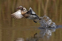 Rolf_Nagel-Fl-1343-Anas_querquedula (Insektenflug) Tags: anas querquedula garganey knäkente atlingand anasquerquedula ente duck anatidae wilhelmshaven burg kniphausen vogel bird avifauna