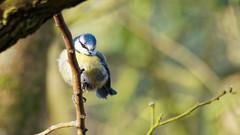 2018.04.02 Arne (27) (Kotatsu Neko 808) Tags: bird arne rspbarne rspb dorset wildlife bluetit