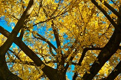 In the Canopy (Halvorsong) Tags: trees treephotograhy treetuesday amazingtrees autumn nature naturephotography colors brightcolors branches fall patterns leaves yellow foliage autumnfoliage