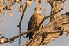 P & P at the Bosque 2:5:18 (phicks172) Tags: ppatthebosque2518 dsc9814 bird bosquedelapache birds americanbaldeagle unitedstates newmexico sanantonio