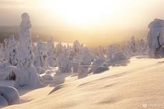 fresh powder (mainone) Tags: arctic popcorntree landscape landschaft europa finland äkäslompolo kuer panorama suomi snow finnland trees popcorntrees sun winterwonderland europe lappland kuertunturi