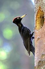 Picchio nero (silvano fabris) Tags: canon wildlife photonature nature animali animals uccelli birds picchionero