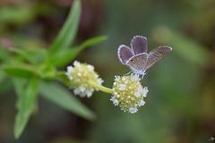 Petit papillon mignon (alain_did) Tags: papillon nature naturallight naturelover bokeh plante fleurs amazonie amazonia macro macroshoot green