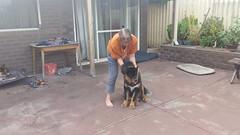 25158457_10214645978010061_543929121988340345_n (natedetienne) Tags: ash tibetan mastiff puppy tm