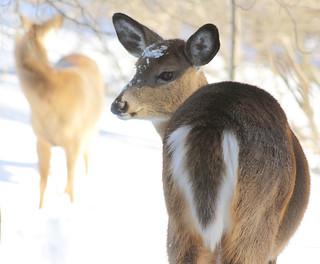 Cerf de Virginie - Virginia Deer