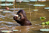 Bishan Otter eating a fish (Mark Harris photography) Tags: otter bishan worldfamous cuteness singapore sg canon