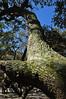 Live Oaks (Quercus virginiana) (3) (A Tidewater Gardener) Tags: oceanview norfolk virginia sarahconstantbeachpark chesapeakebay