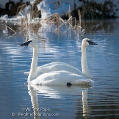 BHP08123 (GabriolaBill) Tags: swan swans bird birds nelder pond gabriola island gabriolaisland bc british columbia canada salish sea salishsea nature wildlife birdlife water sony a7r2 a7rii a7rm2 a7rmii 100400mm gm gmaster