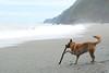 Tigger's Stick 4 (Bob Hawley) Tags: nikond7100 nikon2870mmf3545afd nanfangao yilancounty asia taiwan neipibeach coast outdoors nature seaside dogs taiwantugou pets playing waves surf mountains sand sticks