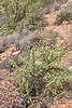Portulacaria afra (Didiereaceae) (yakovlev.alexey) Tags: didiereaceae southafrica swartberg calitzdorp
