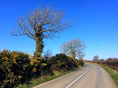 Country roads, take me home (Julie (thanks for 9 million views)) Tags: countryroad wexford saltmills iphonese gorse trees treemendoustuesday rural ireland irish htmt