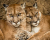 Two Cougars in Costa Rica (Elm Studio) Tags: copyright copyrighted jeffmorgan elmstudio jeffelmstudiocom wwwelmstudiocom 4407542933700 isleofwight uk 2018 appicoftheweek morgan togetherness dangerous nature animalrescuepark costarica mirrorless naturallight notmanipulated panasonic portrait telephoto cougar mountainlion puma panther catamount eyes wiskers midday cri