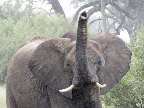 Eléphant - Hwange - Zimbabwe 2018