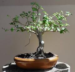 Bonsai 5 (Nam Keng) Tags: bonsai tree update one month after repotting defoliation thailand