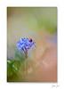 Calypso coc's ... (jeremie.brion) Tags: nature fleur macro proxy coccinelle flower ladybug