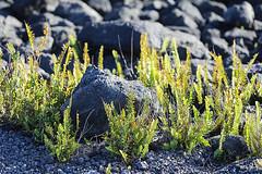 Ferns Among The Boulders (wyojones) Tags: hawai'ivolcanoesnationalpark hawaii maunaulu basalt boulders ferns plants lavaflows vesicularbasalt vesicles wyojones np