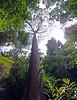 The jungle (Robyn Hooz) Tags: albero borneo tree pillar tall foglie jungle giungla vegetazione veg wild selvaggio rami branches