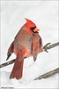 Northern Cardinal (Daniel Cadieux) Tags: cardinal northerncardinal male red winter snow cold vertical ottawa