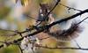 Local Wildlife @ Shoreham (Adam Swaine) Tags: squirrels animals wildlife england english counties countryside britain nature uk ukcounties kent naturelovers beautiful canon county