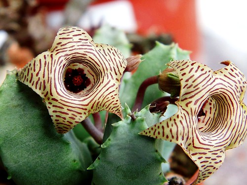 Huernia flowers