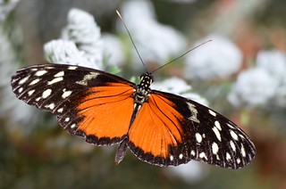 9866ex  resting tiger ( longwing)