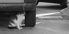 cat 54 (8pl) Tags: trsat chat noiretblanc roue parechoc rue pneu chatdeprofil portraitdechat