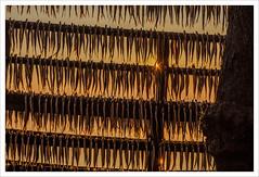 Sardine al sole (Outlaw Pete 65) Tags: pesci fishes sole sun luce light albero tree colori colours fujixe3 fujinon1855mm peschieramaraglio lombardia italia