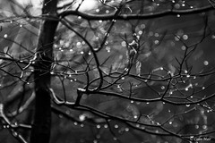 Rain drops - (Jupiter 9, 85mm) - 2018-01-28th (colin.mair) Tags: ayr ilce6000 jupiter9 sony f4 overcast raining wet russian ussr manual lens m42 bw black white monochrome tree drops rain bokeh