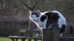Tommy (Nick:Wood) Tags: cat warwickshire nationaltrust baddesleyclinton