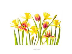 Springtime (Jacky Parker Flower Photography) Tags: daffodils daffs tulips tulipa springflowers springgarden spring2018 flowers flora blooms fresh fragile vibrant highkey closeup white background red yellow floralart beautyinnature flowerphotography colourimage fineart springtime newseason newgrowth cutflowers nopeople studioimage