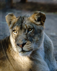 Ever Watchful (Betty Hodges) Tags: lioness mammal lion cat animals zoo reidparkzoo arizona tucson