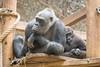 2018-02-16-12h26m53.BL7R9438 (A.J. Haverkamp) Tags: canonef100400mmf4556lisiiusmlens shae shindy amsterdam noordholland netherlands zoo dierentuin httpwwwartisnl artis thenetherlands gorilla sindy pobrotterdamthenetherlands dob03061985 pobamsterdamthenetherlands dob21012016 nl