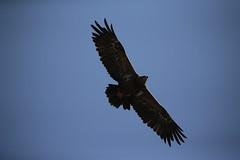 Seine Majestät (carlo612001) Tags: aquila aquiladellesteppe eagle birds falconry falconeria uccelli wildlife adler