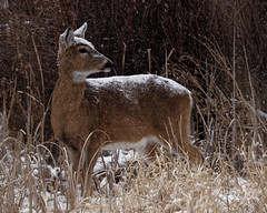 White-tail Poses In Snow (dcstep) Tags: a7r7766dxo deer whitetaildeer snow cherrycreekstatepark colorado usa aurora sonya7riii canonef500mmf4lisii ef14xtciii metaboneseftoetadaptermkv allrightsreserved copyright2018davidcstephens dxophotolab primenoisereduction highiso nature urban urbannature