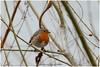 Robin (Hetwie) Tags: vijver roodborstje robin brouwhuis kanaal wijkpark bird vogel helmond noordbrabant nederland nl