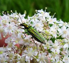 Oedemera nobilis female (gailhampshire) Tags: oedemera nobilis female cors caron national nature reserve