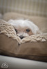 _DSC0004 (classic77) Tags: sleeping dog canine mans best friend pet rained in maltese
