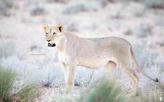 Mother on the lookout (Marcus Antonius Braun) Tags: lion lioness pantheraleo leo kgalagadi kgalagaditranfrontierpark ktp desert cat bigcat bigcats southafrica africa canon canon5dmarkiv 5div 600f4ii canonnl